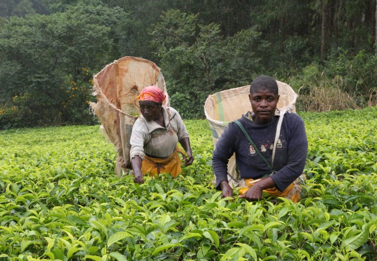 Most women working in the tea sector are pluckers or other positions at a lower level.