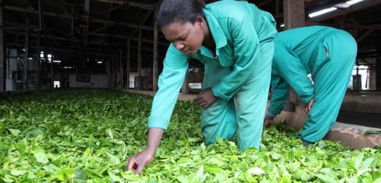 women-at-satemwa-factory